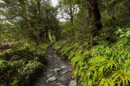 Weg durch Neuseeland-Buchenwald Standard-Bild - 70830999