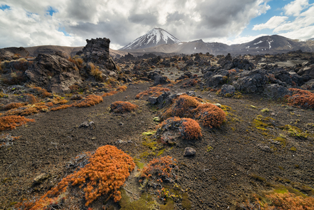 View of Tongariro national park and Mt Ngauruhoe with colorful groundcover plant at foreground in New Zealand