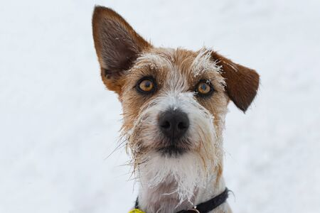 Rough Coated Jack Russell Terrier Dog with snowy face