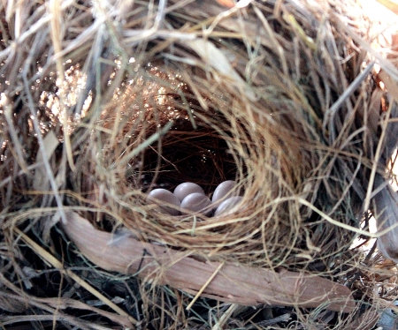 The bird s nest have a white eggs photo