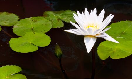 White lotus yellow pollen floating in the water photo