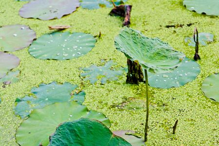 The  lotus leaf on the rise in lake water photo