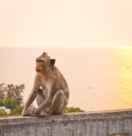 Monkey sitting on a wall at sunset photo