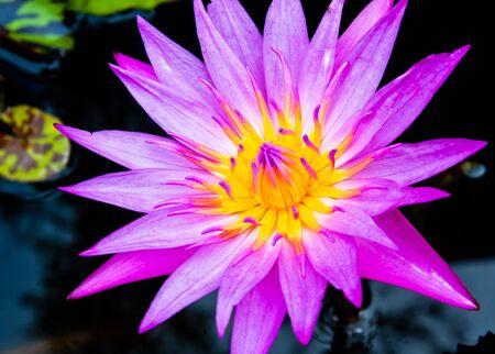 Purple lotus yellow pollen in the sink photo