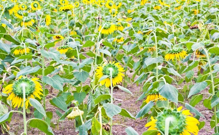 Many of the areas planted with sunflower photo