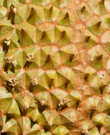 Federation of Thai durian has a sharp surface  texture background Stock Photo - 17593634