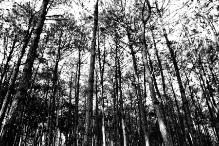 yew: Pine forest in the evening at sunset white and black