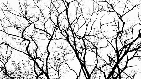 Branches in black on white isolated photo