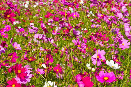 Cosmos and beautiful flowers in a meadow photo
