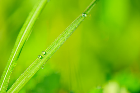 Water accumulated in plants