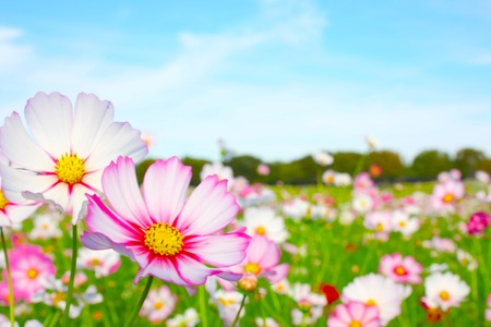 Cosmos Flowers in a Japanese Garden, Tokyo, JAPAN. Stock Photo