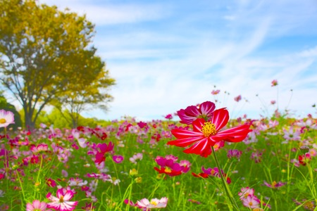 Cosmos Flowers In A Japanese Garden, Tokyo, JAPAN. Stock Photo   69263561