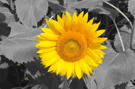 Sunflowers, JAPAN. Field of blooming sunflowers on a monotone background.