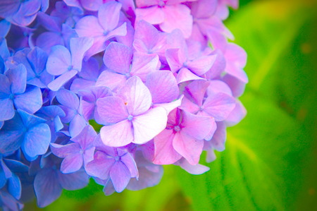 Red and Blue Flower of Hydrangea, JAPAN.