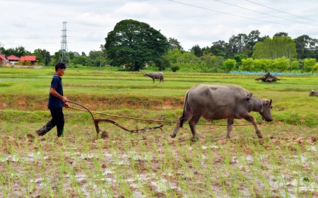 Farmer and buffalo at rice plantation