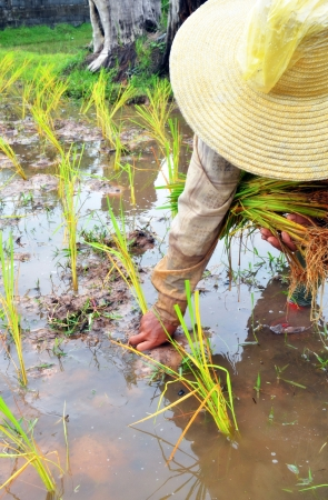 folkways: Rice farmers on rice field in Thailand  Stock Photo
