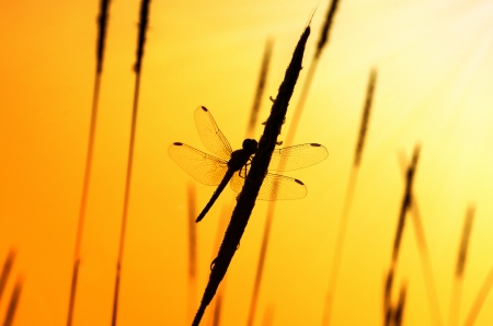 silhouette of dragonfly with sunset Stock Photo - 16946688