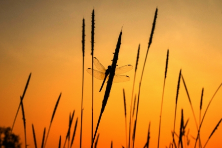 silhouette of dragonfly with sunset photo