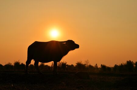 Buffalo silhouette with sunlight background. photo