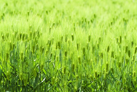 a background image of barley Stock Photo - 12953813