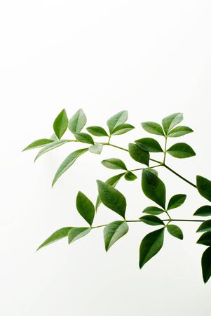 young leaf on white background Stock Photo - 12953339