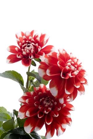 白地に赤いダリアの花