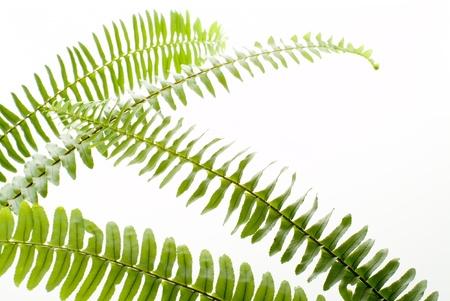 helechos: resumen de la hoja de helecho verde sobre fondo blanco