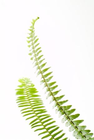 白い背景の上の緑のシダの葉を抽象化します。
