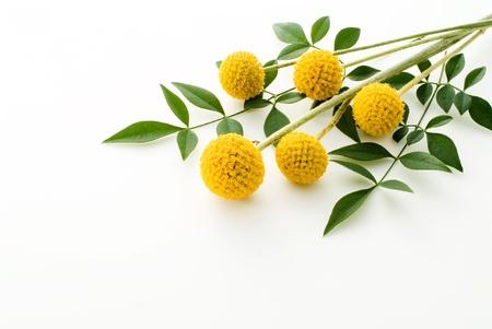 """Craspedia の花の白い背景に ' 金の棒が"""" 写真素材"""