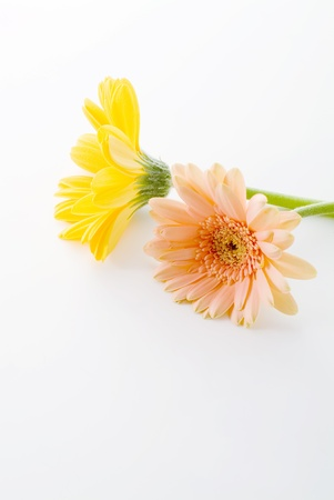 colorful daisy on white background photo