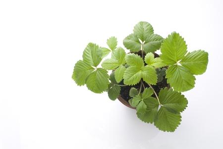 strawberry plant: strawberrys leaves in the flowerpot