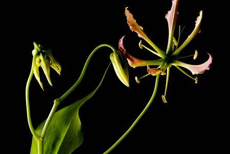 Gloriosa, flower on black background Stockfoto