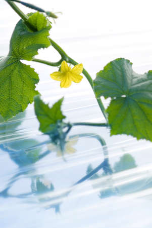 Leaves of cucumber on the water photo
