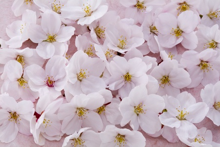 Whole of cherry blossoms as spring background