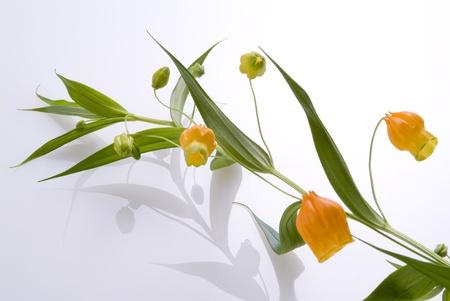 白い背景上のサンダーソニアの花