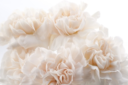 Beautiful light pink carnations for background Stock Photo - 13237758