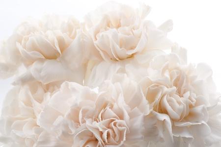 clavel: Hermosos claveles rosas claras para el fondo