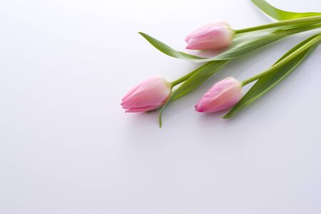 Pretty pink tulips on white background