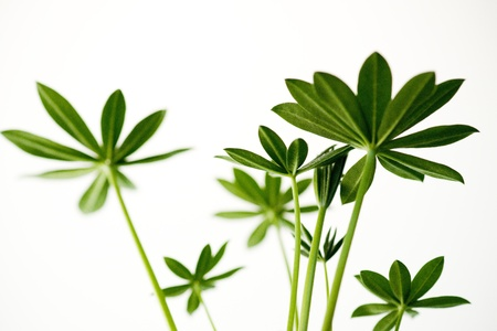 animated: Lupine leaves are growing brightly. Stock Photo