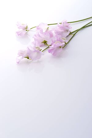 sweet pea flower: Beautiful pink sweet pea in white background.  Stock Photo