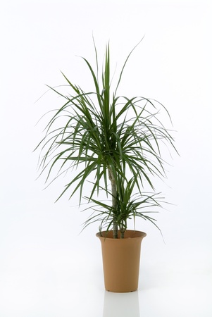 Houseplant dracaena palm on white background photo