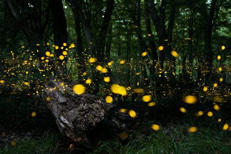 반딧불이와 함께있는 숲의 반딧불이  밤