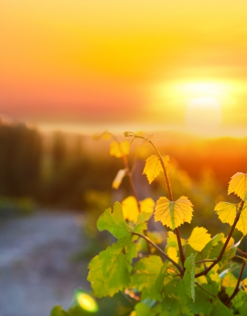 A Beautiful Sunset over a Vineyard Stock Photo