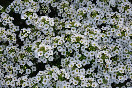 White flowers. Stock Photo