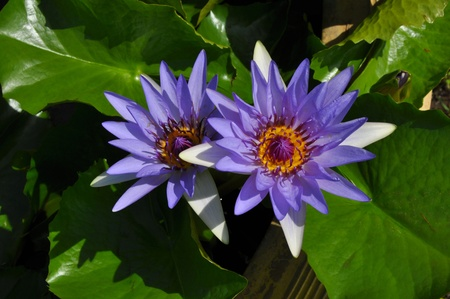 Two Purple lotus.