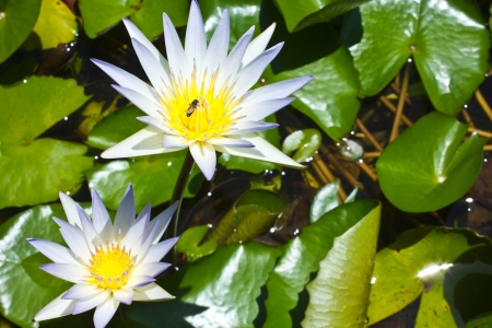 White lotus flower  Stock Photo - 14006888