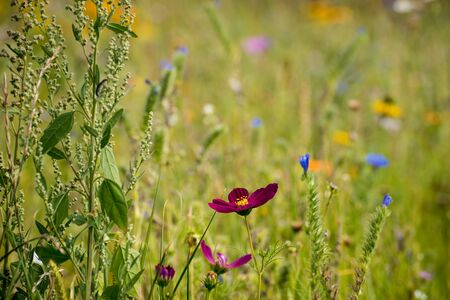 fiori di campo: Wildflower prato Archivio Fotografico