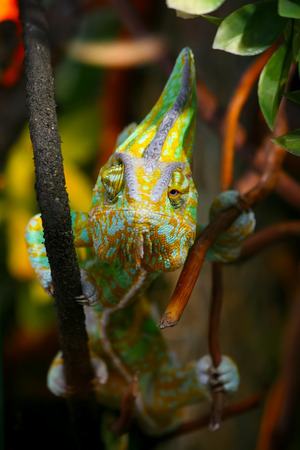 clambering: Funny Chameleon is sitting on a branch in a wild nature and staring at different directions and at you at the same time.