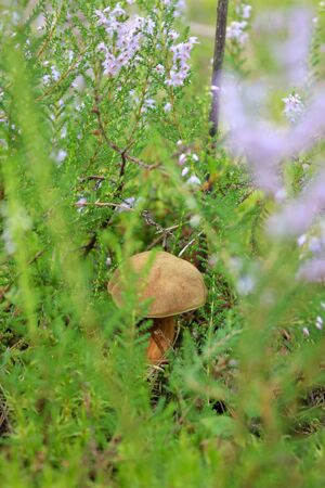 edible mushroom: Edible mushroom in the grass in the forest. Stock Photo