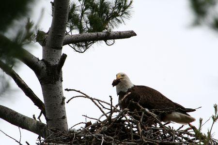 Bald Eagle met vlees